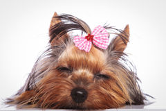 Tired little yorkshire terrier puppy dog is sleeping Royalty Free Stock Photography