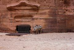 Donkey is resting in Petra Jordan. Tired lonely donkey is resting in the rock city Petra royalty free stock photo