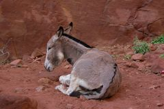 Donkey is resting in Petra Jordan. Tired lonely donkey is resting in the rock city Petra stock photo