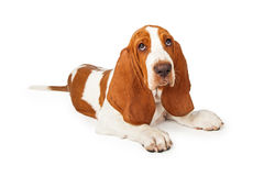 Tired Looking Basset Hound Puppy Laying Stock Images