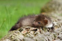 Tired marten Royalty Free Stock Image