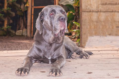 Neapolitan Mastiff Or Italian Mastiff Dog Royalty Free Stock Photos