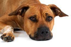 Tired mixed breed dog. Tired Mixed Breed Pit Bull dog on white Royalty Free Stock Photo