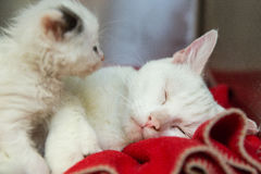 Tired Mommy Cat With Kitten Royalty Free Stock Photo
