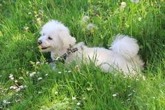 Tired monutain dog in rest. Tired mountain dog, little makteser ben is resting in the grass by Podkalnik, Croatia Royalty Free Stock Photo