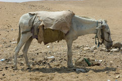 Tired mule Royalty Free Stock Photos