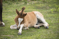 Tired New Forest Pony foal Royalty Free Stock Photos