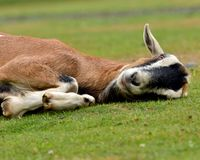 Tired Old Goat Royalty Free Stock Photos