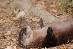 Tired out otter Stock Image