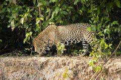 Tired or Painful Jaguar Walking along Mudbank Royalty Free Stock Image