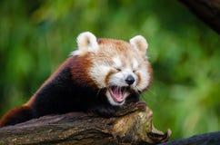 Tired Panda Stock Photos