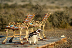 Tired Penguin Stock Photography
