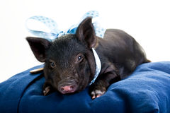 Tired Pig lying down stock image