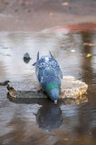 Tired pigeon drinking water Stock Images
