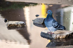 Tired pigeon drinking water Stock Photo