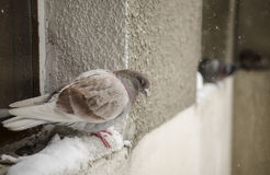 Tired pigeon in the snow Royalty Free Stock Images