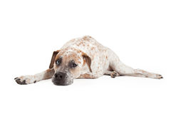 Tired Pointer Crossbreed Laying. A cute Cattle Dog, Boxer and Pointer mixed breed dog laying down and looking forward Stock Photo