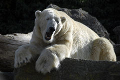 Tired polar bear Royalty Free Stock Images