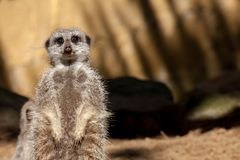Tired pregnant meerkat on duty. Cute animal looking at camera. Stock Photos