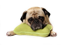 Tired Pug Royalty Free Stock Photography
