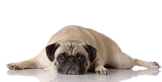 Tired pug dog. Sad looking pug dog laying down against white background Royalty Free Stock Photos