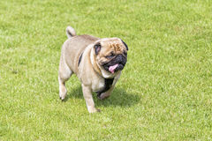 Tired  pug dog walking on lawn Royalty Free Stock Photography