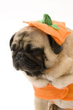 Tired Pug in Halloween Costume. Tired Pug Isoalted in Pumpkin Halloween Costume Stock Image