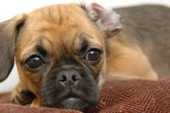 Tired Puggle. A puggle puppy puts her head on a pillow Royalty Free Stock Image