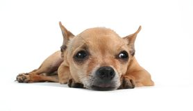 Tired Puppy. A tiny chihuahua lying down Stock Photos
