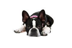 Tired Puppy Royalty Free Stock Photos