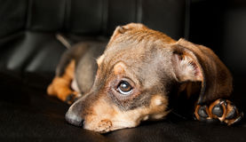 Tired puppy. This puppy found the leather seat comfortable Stock Photography
