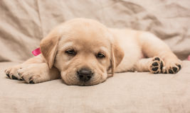 The tired puppy Royalty Free Stock Photo