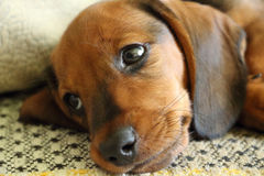 Tired puppy Dachshund lying on the sofa. The puppy Dachshund is resting after a walk Stock Images