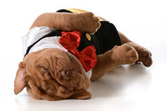 Tired puppy. Dogue de bordeaux wearing tuxedo laying down sleeping isolated on white background Stock Photography