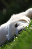 Tired puppy falling asleep. Tired lazy dog pup almost sleeping on grass royalty free stock image