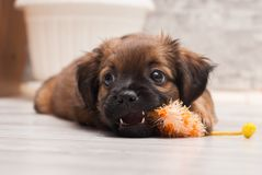 Tired puppy laying on the floor Stock Photo
