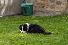 Tired puppy is lying in the grass Royalty Free Stock Photo