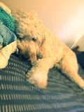 Tired puppy Royalty Free Stock Image