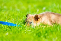 Tired puppy resting in the lush green grass Royalty Free Stock Photo