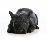 Tired puppy Stock Photography