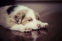 Tired Puppy Stock Image