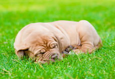 Tired puppy sleeping on the grass Stock Photo