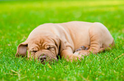 Tired puppy sleeping on the grass Royalty Free Stock Photo