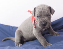Tired purebred puppy Royalty Free Stock Images