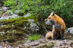 Tired Red Fox Sits and Yawn Yawning stock photo