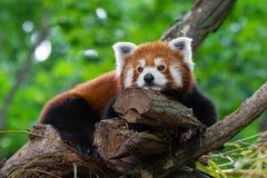Tired Red Panda Royalty Free Stock Image