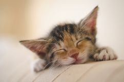 Tired rescued 6 weeks cute calico kitten sleeping and dreaming on the sofa stock photography