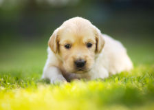 Tired retriever puppy Royalty Free Stock Photos