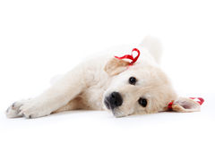 Tired retriever puppy resting with red bows Stock Photo