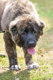 Caucasian Shepherd Dog. Tired sad dog Caucasian Shepherd. Space under the text. 2018 year of the dog in the eastern calendar Concept: parodist dogs, dog friend royalty free stock photography
